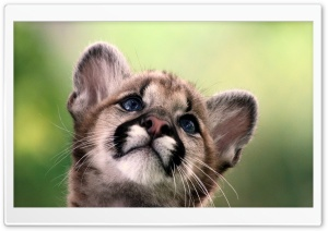 Cute Cougar Cub HD Wide Wallpaper for 4K UHD Widescreen desktop & smartphone