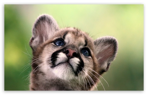 Cute Cougar Cub HD wallpaper for Wide 16:10 5:3 Widescreen WHXGA WQXGA WUXGA WXGA WGA ; HD 16:9 High Definition WQHD QWXGA 1080p 900p 720p QHD nHD ; Standard 4:3 5:4 3:2 Fullscreen UXGA XGA SVGA QSXGA SXGA DVGA HVGA HQVGA devices ( Apple PowerBook G4 iPhone 4 3G 3GS iPod Touch ) ; iPad 1/2/Mini ; Mobile 4:3 5:3 3:2 16:9 5:4 - UXGA XGA SVGA WGA DVGA HVGA HQVGA devices ( Apple PowerBook G4 iPhone 4 3G 3GS iPod Touch ) WQHD QWXGA 1080p 900p 720p QHD nHD QSXGA SXGA ;