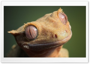 Cute Crested Gecko HD Wide Wallpaper for Widescreen