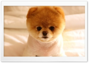 Cute Dog Boo HD Wide Wallpaper for Widescreen