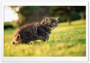 Cute Fluffy Kitten HD Wide Wallpaper for 4K UHD Widescreen desktop & smartphone
