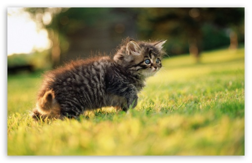 Cute Fluffy Kitten HD wallpaper for Wide 16:10 5:3 Widescreen WHXGA WQXGA WUXGA WXGA WGA ; HD 16:9 High Definition WQHD QWXGA 1080p 900p 720p QHD nHD ; Standard 4:3 5:4 3:2 Fullscreen UXGA XGA SVGA QSXGA SXGA DVGA HVGA HQVGA devices ( Apple PowerBook G4 iPhone 4 3G 3GS iPod Touch ) ; Tablet 1:1 ; iPad 1/2/Mini ; Mobile 4:3 5:3 3:2 16:9 5:4 - UXGA XGA SVGA WGA DVGA HVGA HQVGA devices ( Apple PowerBook G4 iPhone 4 3G 3GS iPod Touch ) WQHD QWXGA 1080p 900p 720p QHD nHD QSXGA SXGA ;