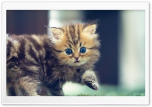 Cute Funny Kitten HD Wide Wallpaper for Widescreen