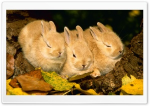 Cute Golden Rabbits HD Wide Wallpaper for Widescreen
