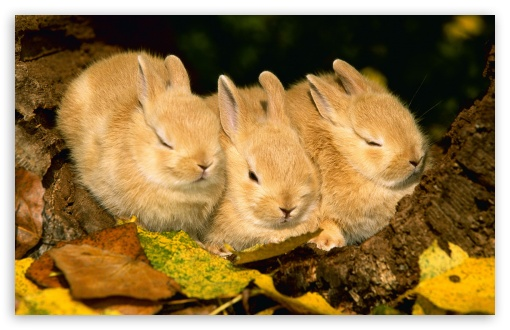Cute Golden Rabbits HD wallpaper for Wide 16:10 5:3 Widescreen WHXGA WQXGA WUXGA WXGA WGA ; HD 16:9 High Definition WQHD QWXGA 1080p 900p 720p QHD nHD ; Standard 4:3 5:4 3:2 Fullscreen UXGA XGA SVGA QSXGA SXGA DVGA HVGA HQVGA devices ( Apple PowerBook G4 iPhone 4 3G 3GS iPod Touch ) ; iPad 1/2/Mini ; Mobile 4:3 5:3 3:2 16:9 5:4 - UXGA XGA SVGA WGA DVGA HVGA HQVGA devices ( Apple PowerBook G4 iPhone 4 3G 3GS iPod Touch ) WQHD QWXGA 1080p 900p 720p QHD nHD QSXGA SXGA ;