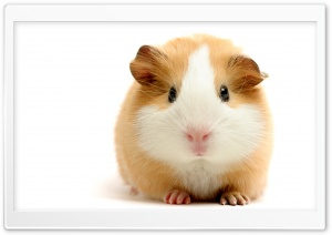 Cute Guinea Pig HD Wide Wallpaper for 4K UHD Widescreen desktop & smartphone