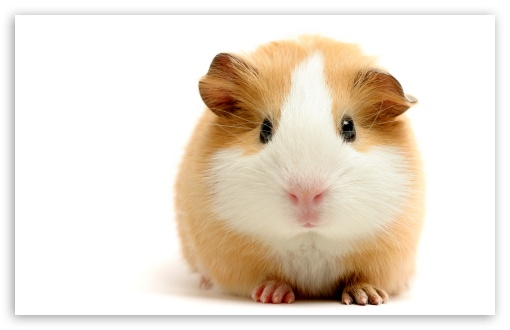 Cute Guinea Pig ❤ 4K UHD Wallpaper for Wide 16:10 5:3 Widescreen WHXGA WQXGA WUXGA WXGA WGA ; 4K UHD 16:9 Ultra High Definition 2160p 1440p 1080p 900p 720p ; Standard 4:3 5:4 3:2 Fullscreen UXGA XGA SVGA QSXGA SXGA DVGA HVGA HQVGA ( Apple PowerBook G4 iPhone 4 3G 3GS iPod Touch ) ; Tablet 1:1 ; iPad 1/2/Mini ; Mobile 4:3 5:3 3:2 16:9 5:4 - UXGA XGA SVGA WGA DVGA HVGA HQVGA ( Apple PowerBook G4 iPhone 4 3G 3GS iPod Touch ) 2160p 1440p 1080p 900p 720p QSXGA SXGA ;