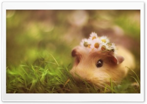 Cute Guinea Pig HD Wide Wallpaper for Widescreen