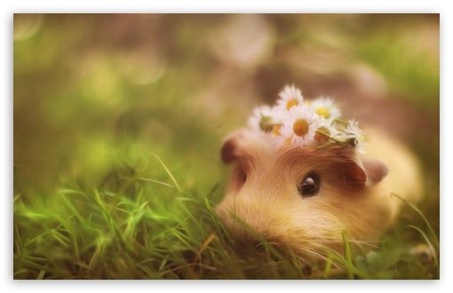 Cute Guinea Pig HD wallpaper for Wide 16:10 5:3 Widescreen WHXGA WQXGA WUXGA WXGA WGA ; HD 16:9 High Definition WQHD QWXGA 1080p 900p 720p QHD nHD ; Standard 4:3 5:4 3:2 Fullscreen UXGA XGA SVGA QSXGA SXGA DVGA HVGA HQVGA devices ( Apple PowerBook G4 iPhone 4 3G 3GS iPod Touch ) ; Tablet 1:1 ; iPad 1/2/Mini ; Mobile 4:3 5:3 3:2 16:9 5:4 - UXGA XGA SVGA WGA DVGA HVGA HQVGA devices ( Apple PowerBook G4 iPhone 4 3G 3GS iPod Touch ) WQHD QWXGA 1080p 900p 720p QHD nHD QSXGA SXGA ;