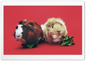 Cute Guinea Pigs HD Wide Wallpaper for Widescreen