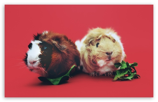 Cute Guinea Pigs HD wallpaper for Wide 16:10 5:3 Widescreen WHXGA WQXGA WUXGA WXGA WGA ; HD 16:9 High Definition WQHD QWXGA 1080p 900p 720p QHD nHD ; UHD 16:9 WQHD QWXGA 1080p 900p 720p QHD nHD ; Standard 4:3 5:4 3:2 Fullscreen UXGA XGA SVGA QSXGA SXGA DVGA HVGA HQVGA devices ( Apple PowerBook G4 iPhone 4 3G 3GS iPod Touch ) ; Tablet 1:1 ; iPad 1/2/Mini ; Mobile 4:3 5:3 3:2 16:9 5:4 - UXGA XGA SVGA WGA DVGA HVGA HQVGA devices ( Apple PowerBook G4 iPhone 4 3G 3GS iPod Touch ) WQHD QWXGA 1080p 900p 720p QHD nHD QSXGA SXGA ; Dual 16:10 5:3 16:9 4:3 5:4 WHXGA WQXGA WUXGA WXGA WGA WQHD QWXGA 1080p 900p 720p QHD nHD UXGA XGA SVGA QSXGA SXGA ;
