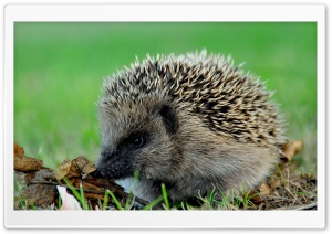 Cute Hedgehog HD Wide Wallpaper for Widescreen