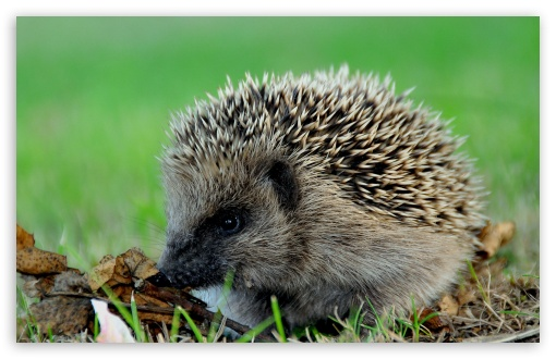 Cute Hedgehog HD wallpaper for Wide 16:10 5:3 Widescreen WHXGA WQXGA WUXGA WXGA WGA ; HD 16:9 High Definition WQHD QWXGA 1080p 900p 720p QHD nHD ; Standard 4:3 5:4 3:2 Fullscreen UXGA XGA SVGA QSXGA SXGA DVGA HVGA HQVGA devices ( Apple PowerBook G4 iPhone 4 3G 3GS iPod Touch ) ; Tablet 1:1 ; iPad 1/2/Mini ; Mobile 4:3 5:3 3:2 16:9 5:4 - UXGA XGA SVGA WGA DVGA HVGA HQVGA devices ( Apple PowerBook G4 iPhone 4 3G 3GS iPod Touch ) WQHD QWXGA 1080p 900p 720p QHD nHD QSXGA SXGA ;
