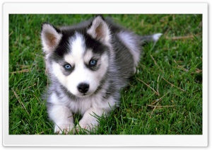 Cute Husky Puppy HD Wide Wallpaper for Widescreen