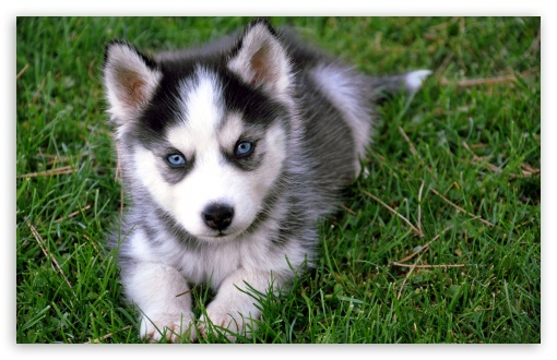Cute Husky Puppy HD wallpaper for Wide 16:10 5:3 Widescreen WHXGA WQXGA WUXGA WXGA WGA ; HD 16:9 High Definition WQHD QWXGA 1080p 900p 720p QHD nHD ; Standard 4:3 5:4 3:2 Fullscreen UXGA XGA SVGA QSXGA SXGA DVGA HVGA HQVGA devices ( Apple PowerBook G4 iPhone 4 3G 3GS iPod Touch ) ; Tablet 1:1 ; iPad 1/2/Mini ; Mobile 4:3 5:3 3:2 16:9 5:4 - UXGA XGA SVGA WGA DVGA HVGA HQVGA devices ( Apple PowerBook G4 iPhone 4 3G 3GS iPod Touch ) WQHD QWXGA 1080p 900p 720p QHD nHD QSXGA SXGA ;