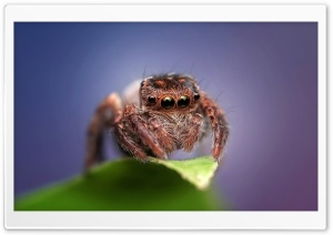 Cute Jumping Spider HD Wide Wallpaper for 4K UHD Widescreen desktop & smartphone