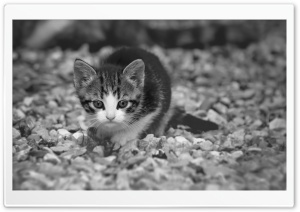 Cute Kitten HD Wide Wallpaper for Widescreen