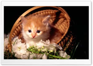 Cute Kitten In Basket HD Wide Wallpaper for 4K UHD Widescreen desktop & smartphone