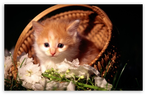 Cute Kitten In Basket HD wallpaper for Wide 16:10 5:3 Widescreen WHXGA WQXGA WUXGA WXGA WGA ; HD 16:9 High Definition WQHD QWXGA 1080p 900p 720p QHD nHD ; Standard 4:3 5:4 3:2 Fullscreen UXGA XGA SVGA QSXGA SXGA DVGA HVGA HQVGA devices ( Apple PowerBook G4 iPhone 4 3G 3GS iPod Touch ) ; Tablet 1:1 ; iPad 1/2/Mini ; Mobile 4:3 5:3 3:2 16:9 5:4 - UXGA XGA SVGA WGA DVGA HVGA HQVGA devices ( Apple PowerBook G4 iPhone 4 3G 3GS iPod Touch ) WQHD QWXGA 1080p 900p 720p QHD nHD QSXGA SXGA ;