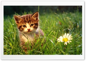 Cute Kitten Near A Flower HD Wide Wallpaper for 4K UHD Widescreen desktop & smartphone