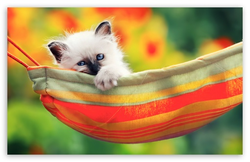 Cute Kitty HD wallpaper for Wide 16:10 5:3 Widescreen WHXGA WQXGA WUXGA WXGA WGA ; HD 16:9 High Definition WQHD QWXGA 1080p 900p 720p QHD nHD ; Standard 4:3 5:4 3:2 Fullscreen UXGA XGA SVGA QSXGA SXGA DVGA HVGA HQVGA devices ( Apple PowerBook G4 iPhone 4 3G 3GS iPod Touch ) ; Tablet 1:1 ; iPad 1/2/Mini ; Mobile 4:3 5:3 3:2 16:9 5:4 - UXGA XGA SVGA WGA DVGA HVGA HQVGA devices ( Apple PowerBook G4 iPhone 4 3G 3GS iPod Touch ) WQHD QWXGA 1080p 900p 720p QHD nHD QSXGA SXGA ;