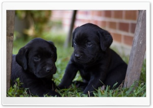 Cute Labrador Puppies HD Wide Wallpaper for Widescreen