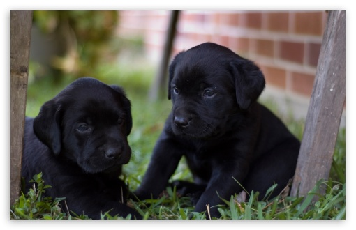Cute Labrador Puppies HD wallpaper for Wide 16:10 5:3 Widescreen WHXGA WQXGA WUXGA WXGA WGA ; HD 16:9 High Definition WQHD QWXGA 1080p 900p 720p QHD nHD ; Standard 4:3 5:4 3:2 Fullscreen UXGA XGA SVGA QSXGA SXGA DVGA HVGA HQVGA devices ( Apple PowerBook G4 iPhone 4 3G 3GS iPod Touch ) ; Tablet 1:1 ; iPad 1/2/Mini ; Mobile 4:3 5:3 3:2 16:9 5:4 - UXGA XGA SVGA WGA DVGA HVGA HQVGA devices ( Apple PowerBook G4 iPhone 4 3G 3GS iPod Touch ) WQHD QWXGA 1080p 900p 720p QHD nHD QSXGA SXGA ;