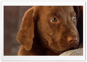 Cute Labrador Puppy HD Wide Wallpaper for 4K UHD Widescreen desktop & smartphone
