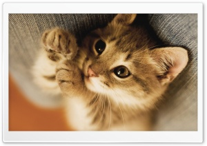 Cute Lazy Kitten HD Wide Wallpaper for Widescreen