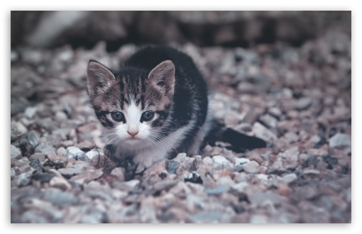 Cute Little Kitten HD wallpaper for Standard 4:3 5:4 Fullscreen UXGA XGA SVGA QSXGA SXGA ; Wide 16:10 5:3 Widescreen WHXGA WQXGA WUXGA WXGA WGA ; HD 16:9 High Definition WQHD QWXGA 1080p 900p 720p QHD nHD ; Other 3:2 DVGA HVGA HQVGA devices ( Apple PowerBook G4 iPhone 4 3G 3GS iPod Touch ) ; Mobile VGA WVGA iPhone iPad PSP Phone - VGA QVGA Smartphone ( PocketPC GPS iPod Zune BlackBerry HTC Samsung LG Nokia Eten Asus ) WVGA WQVGA Smartphone ( HTC Samsung Sony Ericsson LG Vertu MIO ) HVGA Smartphone ( Apple iPhone iPod BlackBerry HTC Samsung Nokia ) Sony PSP Zune HD Zen ; Tablet 2 ;