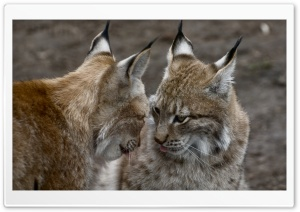 Cute Lynx Animals