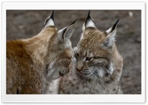 Cute Lynx Animals Ultra HD Wallpaper for 4K UHD Widescreen desktop, tablet & smartphone
