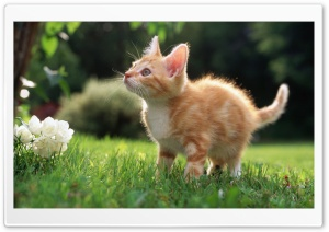 Cute Orange Kitten HD Wide Wallpaper for 4K UHD Widescreen desktop & smartphone