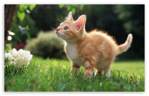 Cute Orange Kitten HD wallpaper for Wide 16:10 5:3 Widescreen WHXGA WQXGA WUXGA WXGA WGA ; HD 16:9 High Definition WQHD QWXGA 1080p 900p 720p QHD nHD ; Standard 4:3 5:4 3:2 Fullscreen UXGA XGA SVGA QSXGA SXGA DVGA HVGA HQVGA devices ( Apple PowerBook G4 iPhone 4 3G 3GS iPod Touch ) ; Tablet 1:1 ; iPad 1/2/Mini ; Mobile 4:3 5:3 3:2 16:9 5:4 - UXGA XGA SVGA WGA DVGA HVGA HQVGA devices ( Apple PowerBook G4 iPhone 4 3G 3GS iPod Touch ) WQHD QWXGA 1080p 900p 720p QHD nHD QSXGA SXGA ;