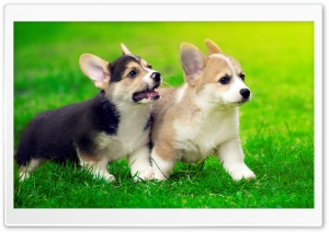 Cute Pembroke Welsh Corgi Puppies Running HD Wide Wallpaper for 4K UHD Widescreen desktop & smartphone