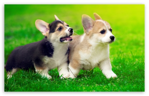 Cute Pembroke Welsh Corgi Puppies Running ❤ 4K UHD Wallpaper for Wide 16:10 5:3 Widescreen WHXGA WQXGA WUXGA WXGA WGA ; UltraWide 21:9 ; 4K UHD 16:9 Ultra High Definition 2160p 1440p 1080p 900p 720p ; Standard 4:3 5:4 3:2 Fullscreen UXGA XGA SVGA QSXGA SXGA DVGA HVGA HQVGA ( Apple PowerBook G4 iPhone 4 3G 3GS iPod Touch ) ; Tablet 1:1 ; iPad 1/2/Mini ; Mobile 4:3 5:3 3:2 16:9 5:4 - UXGA XGA SVGA WGA DVGA HVGA HQVGA ( Apple PowerBook G4 iPhone 4 3G 3GS iPod Touch ) 2160p 1440p 1080p 900p 720p QSXGA SXGA ;
