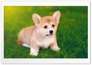 Cute Pembroke Welsh Corgi Puppy HD Wide Wallpaper for 4K UHD Widescreen desktop & smartphone
