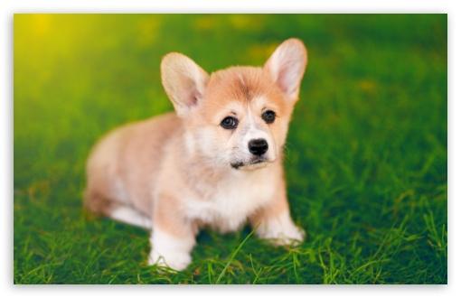 cute pembroke welsh corgi puppy 4k hd desktop wallpaper
