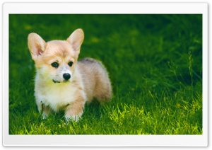 Cute Pembroke Welsh Corgi Puppy Outdoor HD Wide Wallpaper for Widescreen