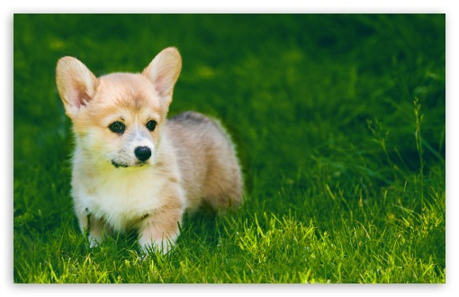 Cute Pembroke Welsh Corgi Puppy Outdoor ❤ 4K UHD Wallpaper for Wide 16:10 5:3 Widescreen WHXGA WQXGA WUXGA WXGA WGA ; UltraWide 21:9 ; 4K UHD 16:9 Ultra High Definition 2160p 1440p 1080p 900p 720p ; Standard 4:3 5:4 3:2 Fullscreen UXGA XGA SVGA QSXGA SXGA DVGA HVGA HQVGA ( Apple PowerBook G4 iPhone 4 3G 3GS iPod Touch ) ; Smartphone 16:9 3:2 5:3 2160p 1440p 1080p 900p 720p DVGA HVGA HQVGA ( Apple PowerBook G4 iPhone 4 3G 3GS iPod Touch ) WGA ; Tablet 1:1 ; iPad 1/2/Mini ; Mobile 4:3 5:3 3:2 16:9 5:4 - UXGA XGA SVGA WGA DVGA HVGA HQVGA ( Apple PowerBook G4 iPhone 4 3G 3GS iPod Touch ) 2160p 1440p 1080p 900p 720p QSXGA SXGA ;