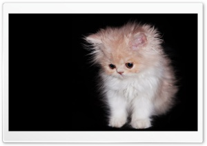 Cute Persian Kitten HD Wide Wallpaper for 4K UHD Widescreen desktop & smartphone