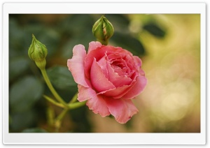 Cute Pink Rose HD Wide Wallpaper for Widescreen