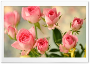 Cute Pink Roses HD Wide Wallpaper for Widescreen