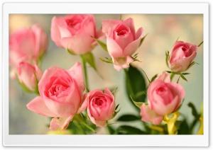 Cute Pink Roses HD Wide Wallpaper for 4K UHD Widescreen desktop & smartphone