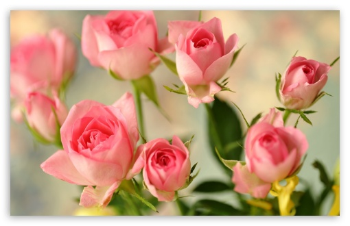Cute Pink Roses HD wallpaper for Wide 16:10 5:3 Widescreen WHXGA WQXGA WUXGA WXGA WGA ; HD 16:9 High Definition WQHD QWXGA 1080p 900p 720p QHD nHD ; Standard 4:3 5:4 3:2 Fullscreen UXGA XGA SVGA QSXGA SXGA DVGA HVGA HQVGA devices ( Apple PowerBook G4 iPhone 4 3G 3GS iPod Touch ) ; Tablet 1:1 ; iPad 1/2/Mini ; Mobile 4:3 5:3 3:2 16:9 5:4 - UXGA XGA SVGA WGA DVGA HVGA HQVGA devices ( Apple PowerBook G4 iPhone 4 3G 3GS iPod Touch ) WQHD QWXGA 1080p 900p 720p QHD nHD QSXGA SXGA ; Dual 16:10 5:3 4:3 5:4 WHXGA WQXGA WUXGA WXGA WGA UXGA XGA SVGA QSXGA SXGA ;