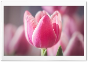 Cute Pink Tulip HD Wide Wallpaper for Widescreen