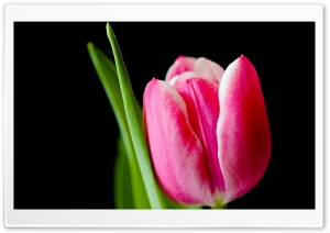 Cute Pink Tulip Flower HD Wide Wallpaper for Widescreen