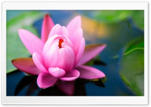 Cute Pink Water Lily HD Wide Wallpaper for Widescreen