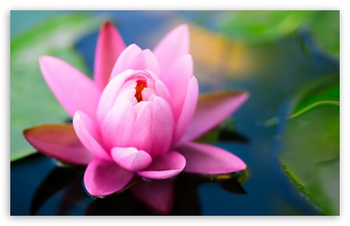 Cute Pink Water Lily HD wallpaper for Wide 16:10 5:3 Widescreen WHXGA WQXGA WUXGA WXGA WGA ; HD 16:9 High Definition WQHD QWXGA 1080p 900p 720p QHD nHD ; Standard 4:3 5:4 3:2 Fullscreen UXGA XGA SVGA QSXGA SXGA DVGA HVGA HQVGA devices ( Apple PowerBook G4 iPhone 4 3G 3GS iPod Touch ) ; Tablet 1:1 ; iPad 1/2/Mini ; Mobile 4:3 5:3 3:2 16:9 5:4 - UXGA XGA SVGA WGA DVGA HVGA HQVGA devices ( Apple PowerBook G4 iPhone 4 3G 3GS iPod Touch ) WQHD QWXGA 1080p 900p 720p QHD nHD QSXGA SXGA ;