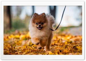 Cute Pomeranian Puppy enjoying a Fall Day HD Wide Wallpaper for 4K UHD Widescreen desktop & smartphone